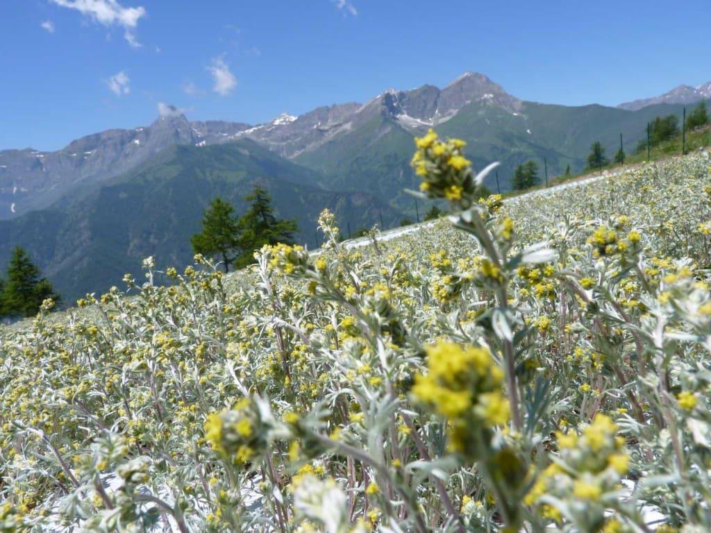 #italianliqueurs, #genepì, #mountains, #plants